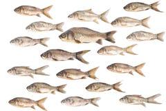 Backround de los pescados de la carpa sobre blanco Foto de archivo libre de regalías