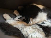 Backround dei gatti dell'animale domestico Immagine Stock Libera da Diritti