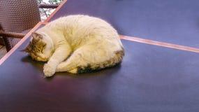 Backround dei gatti dell'animale domestico Fotografia Stock