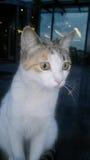Backround dei gatti dell'animale domestico Fotografia Stock Libera da Diritti