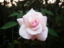 Backround di rosa Dewy dei fiori Fotografie Stock