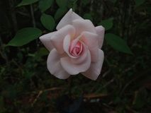 Backround di rosa Dewy dei fiori Fotografia Stock Libera da Diritti