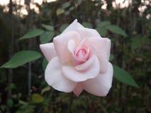 Backround di rosa Dewy dei fiori Fotografie Stock Libere da Diritti