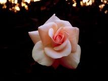 Backround di rosa Dewy dei fiori Fotografia Stock