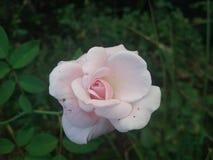 Backround di rosa Dewy dei fiori Immagini Stock