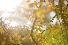 Backround do outono com as folhas do galho e do amarelo Imagens de Stock