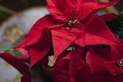 Backround för stjärna för jul för juljulstjärnablomma röd Arkivbild