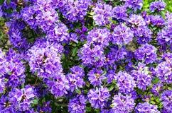 Backround purpurowy różanecznik Zdjęcia Stock