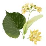 backroundbluen blommar illustrationlindenvektorn stock illustrationer