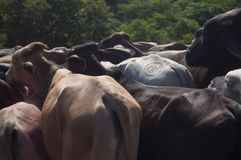 Herding branded cattle in Nicaragua. royalty free stock image
