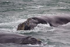 Backs of two Southern Right Whales swimming near Hermanus, Western Cape. South Africa. stock photos