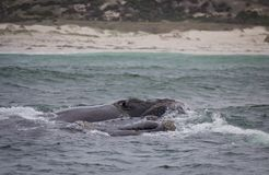 Backs of two Southern Right Whales swimming near Hermanus, Western Cape. South Africa. royalty free stock photography