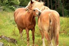 backscratching hästar royaltyfria foton