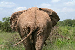 Backside. Of a big tusker royalty free stock photography