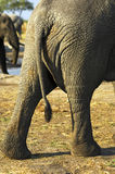 Backside of an African Elephant Stock Photography