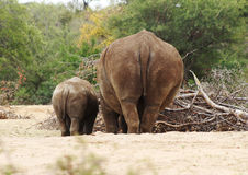 Backside Babes. Photo of White Rhino in bush on hot summer day rubbing backsides stock photos
