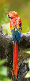 Backside of beautiful Scarlet Macaw Bird are perched on a timber Royalty Free Stock Photo