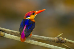 Backside of Black-backed Kingfisher Stock Photography