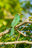 Backside of Blue-bearded Bee-eater Stock Image