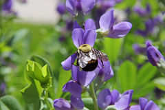 Backside of bumble bee bombus  insect on purple flower Royalty Free Stock Photography