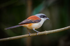Backside of Burmese Shrike. (Lanius collurioides) on the branch in nature of Thailand stock photos
