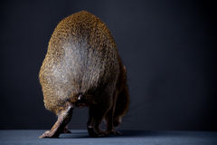 Backside of Central American agouti on black Royalty Free Stock Photography