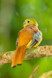 Backside close up of Orange-breasted Trogon Stock Photos