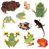 Backside of Frogs set on white Stock Photos