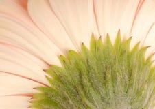 Backside of gerbera daisy Royalty Free Stock Photography