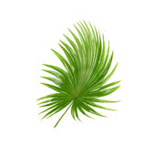 Backside ; Green leaves of palm tree. Isolated on white background Royalty Free Stock Images