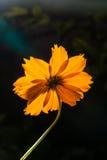 Backside of macro shot yellow flower on black background. Stock Images