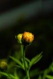 Backside of macro shot yellow flower on black background. Royalty Free Stock Photos