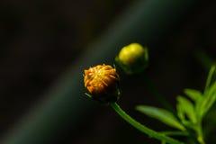 Backside of macro shot yellow flower on black background. Stock Image