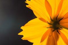Backside of macro shot yellow flower on black background. Stock Photo