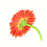 Backside of marigold Stock Image