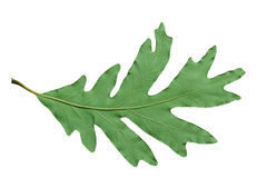 Backside of Oak Leaf Royalty Free Stock Photography