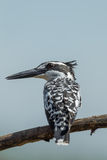 Backside of Pied Kingfisher Stock Image