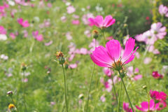 Backside of pink cosmos flower Stock Image