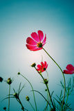 Backside of pink cosmos flower Royalty Free Stock Photography