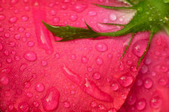 Backside of red rose with drops Royalty Free Stock Photos