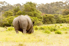 The backside of a rhino eating grass. The backside view of a rhino eating grass in the field stock images