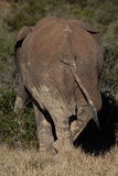 Backside of single elephant in African bush. Single African elephant standing in bushland in South Africa stock photos