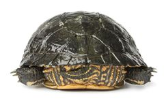 Backside of a single water turtle. On white background Stock Photography