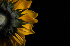 Backside of Sunflower Royalty Free Stock Photography