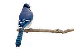 Backside view of a bluejay perched on a branch. White background royalty free stock photo