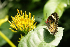 Backside view of yellow orange colorful butterfly with its wings upwards sitting on green leaf facing yellow flower. Stock Photos