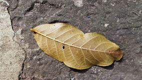 Backside of walnut leaf with straight yellow leaf veins closeup. Dry leaf texture of walnut tree on rough cement background with deep crack. Fall season royalty free stock image