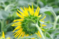 Beautiful natural yellow sunflower in garden royalty free stock photography