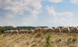 Backsides of sheep on a Dutch dike Stock Image