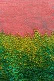 Backsteinmauer überwältigt mit grünen Efeubeschaffenheiten Stockbild